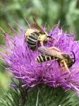 Gelbbindige Furchenbienen auf Kratzdistel