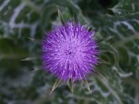 Mariendistel Blüte